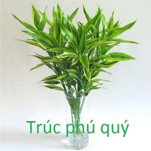 Trúc phú quý là một loại cây cảnh hợp mệnh gia chủ mệnh Thủy