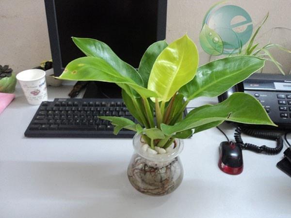Đặt chậu cây xanh trên bàn làm việc