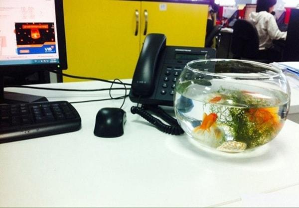 Nên chọn cá vàng để trong bể cá mini